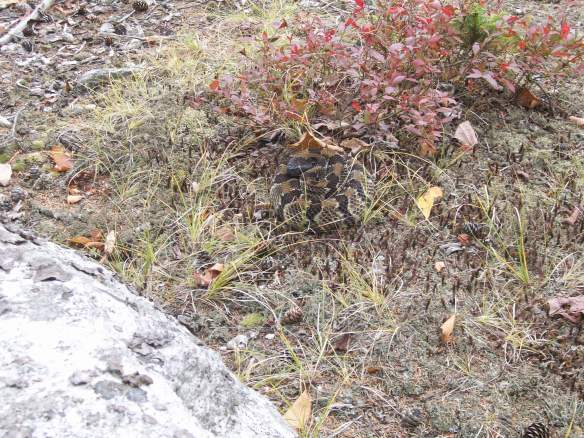 See the snake?  I walked all around it, before realizing it was there.