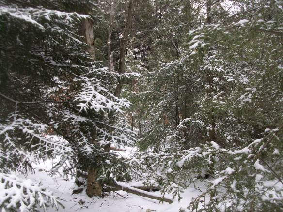 Winter wonderland in a spruce and hemlock forest