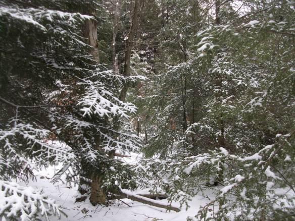 Winter wonderland in a spruce and hemlock forest