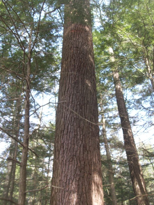 Ancient, old growth hemlock