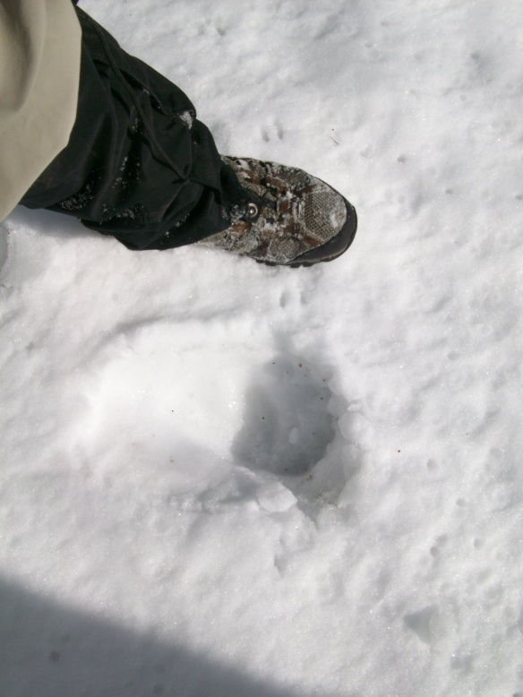 Huge bear tracks