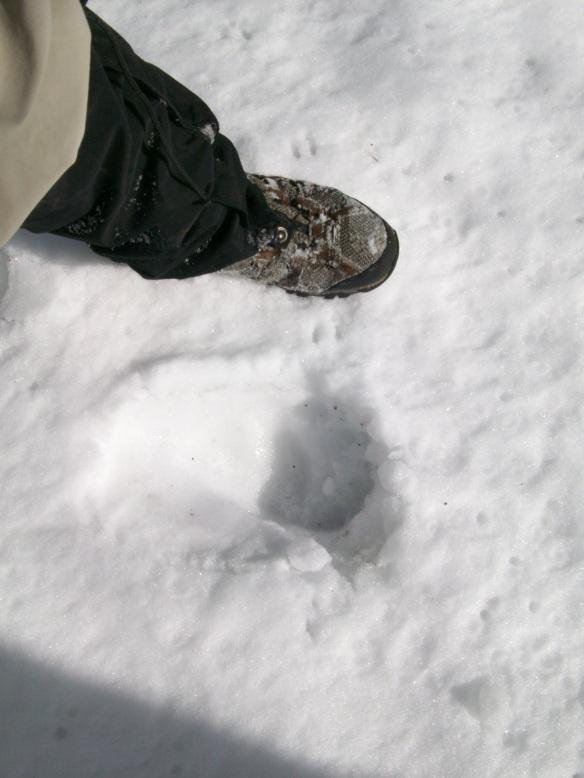 Huge bear tracks