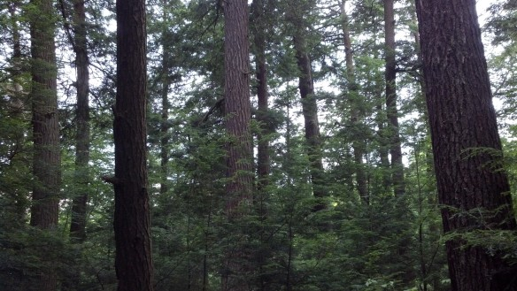 Old growth hemlocks