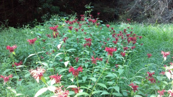 Lots of bee balm along the trail