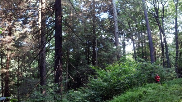 Entering the old growth forest