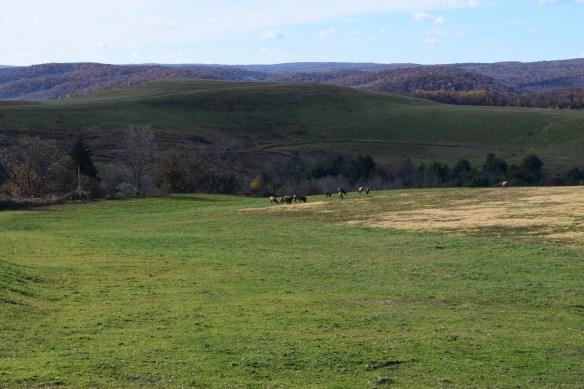 Elk grazing in a meadow