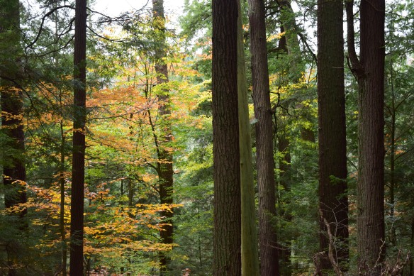 Forest Cathedral, Cook Forest State Park